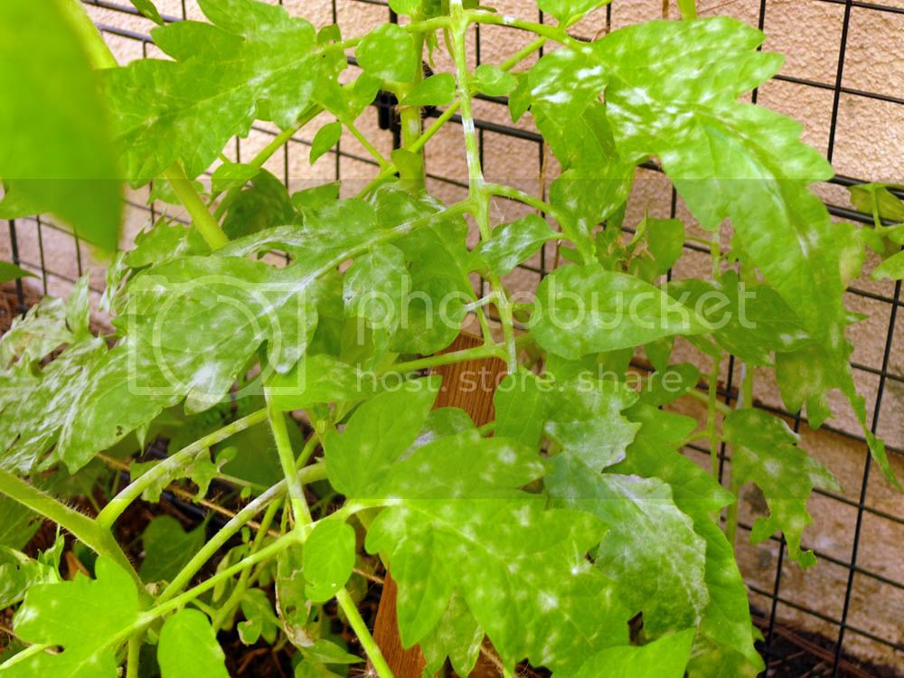 tomato plant problem